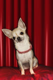 Chihuahua Sitting On Red Pillow stock image