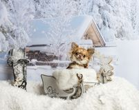 Chihuahua sitting in sleigh against winter scene. Chihuahua sitting in sleigh, winter scene Stock Photos
