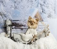 Chihuahua sitting in sleigh against winter scene. Chihuahua sitting in sleigh, winter scene Royalty Free Stock Image