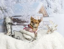 Chihuahua sitting in sleigh in winter scene, portrait. Chihuahua sitting in sleigh in winter scene Royalty Free Stock Image