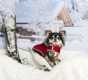 Chihuahua sitting in sleigh against winter scene, portrait. Chihuahua sitting in sleigh, winter scene, portrait Stock Photos
