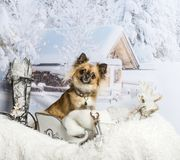 Chihuahua sitting in sleigh in winter scene, portrait. Chihuahua sitting in sleigh in winter scene Royalty Free Stock Photo