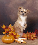 Chihuahua sitting up in the pumpkins and leaves Royalty Free Stock Photo