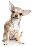 Chihuahua Sitting Upright On White Stock Image