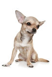 Chihuahua Sitting Upright On White. Chihuahua in front of a white background royalty free stock images