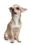Chihuahua Sitting Upright On White. Chihuahua in front of a white background royalty free stock photo