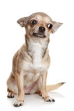 Chihuahua Sitting Upright On White. Chihuahua in front of a white background stock image