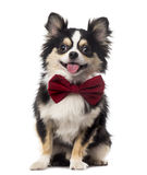 Chihuahua sitting and wearing a bow tie Stock Photography