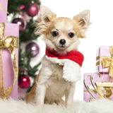 Chihuahua sitting wearing a Christmas scarf in front of Christmas decorations Stock Photos