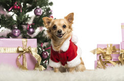 Chihuahua sitting and wearing a Christmas suit in front of Christmas decorations Stock Photo