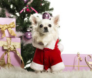Chihuahua sitting and wearing a Christmas suit in front of Christmas decorations Stock Photos