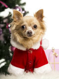 Chihuahua sitting and wearing a Christmas suit in front of Christmas decorations Stock Photography