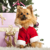 Chihuahua sitting and wearing a Christmas suit in front of Christmas decorations Royalty Free Stock Photography