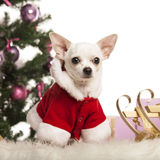 Chihuahua sitting and wearing a Christmas suit in front of Christmas decorations Royalty Free Stock Images