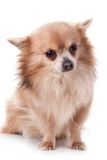 Chihuahua sitting Royalty Free Stock Images