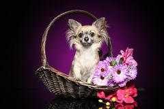 Chihuahua sitting in a wicker basket. Chihuahua with a bouquet of flowers sitting in a wicker basket on a dark purple background royalty free stock image