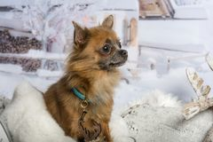 Chihuahua sitting in winter scene, looking away. Chihuahua sitting, winter scene, looking away Stock Photography