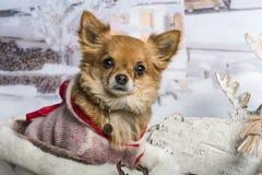 Chihuahua sitting in winter scene, portrait. Chihuahua sitting in winter scene Stock Photos
