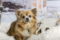 Chihuahua sitting in winter scene, portrait. Chihuahua sitting in, scene, portrait royalty free stock images