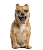 Chihuahua sitting, yawning, isolated Royalty Free Stock Photography