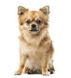 Chihuahua sitting, 2 years old , isolated Stock Photos