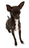 Chihuahua-Sitzen Lizenzfreie Stockbilder