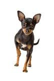 chihuahua skrót psi z włosami Obrazy Stock
