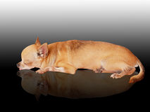 Chihuahua Sleep Royalty Free Stock Photo