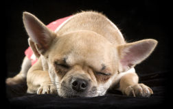 Chihuahua sleeping  on  black Stock Images