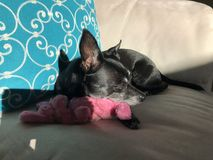 Chihuahua sleeping on toy. Black Chihuahua sleeping on pink toy on couch next to blue pillow Royalty Free Stock Image
