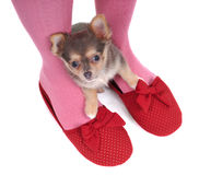 Chihuahua in the Slippers. Small Chihuahua Hidding in the Slippers Royalty Free Stock Image