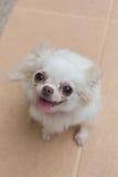 Chihuahua small dog happy smile Royalty Free Stock Photos