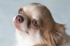 Chihuahua small dog happy smile, pet wounded on neck Royalty Free Stock Image