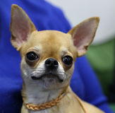 Chihuahua. Small room doggie with large ears and eyes Stock Images
