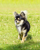 Chihuahua. A small, young, beautiful, black and tan, cream, long coated Chihuahua standing on the lawn. Chihuahua dogs are the smallest in size Royalty Free Stock Images
