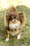 Chihuahua. A small, young, beautiful, chocolate and cream, brown, long coated Chihuahua standing on the lawn. Chihuahua dogs are the smallest in size Royalty Free Stock Images