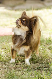 Chihuahua. A small, young, beautiful, chocolate and cream, brown, long coated Chihuahua standing on the lawn. Chihuahua dogs are the smallest in size Stock Photos
