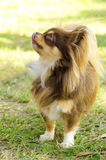 Chihuahua. A small, young, beautiful, chocolate and cream, brown, long coated Chihuahua standing on the lawn. Chihuahua dogs are the smallest in size Stock Photo
