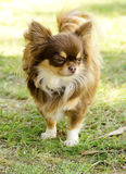 Chihuahua. A small, young, beautiful, chocolate and cream, brown, long coated Chihuahua standing on the lawn. Chihuahua dogs are the smallest in size Royalty Free Stock Photography