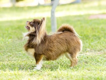 Chihuahua. A small, young, beautiful, chocolate and cream, brown, long coated Chihuahua standing on the lawn. Chihuahua dogs are the smallest in size Royalty Free Stock Image