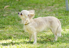 Chihuahua. A small, young, beautiful, fawn, cream, long coated Chihuahua standing on the lawn. Chihuahua dogs are the smallest in size Royalty Free Stock Images