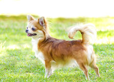 Chihuahua. A small, young, beautiful, red and cream, brown, long coated Chihuahua standing happily on the lawn. Chihuahua dogs are the smallest in size Stock Images