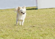 Chihuahua. A small, young, beautiful, white, fawn, cream, long coated Chihuahua running on the grass. Chihuahua dogs are the smallest in size Stock Photo