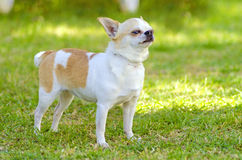 Chihuahua. A small, young, beautiful, white, fawn, cream, short coated Chihuahua standing on the lawn. Chihuahua dogs are the smallest in size Royalty Free Stock Images