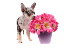 Chihuahua smelling the flowers royalty free stock image