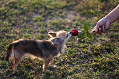 Chihuahua smelling the rose Stock Photo