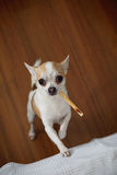 Chihuahua with snack. Looking you eyes Royalty Free Stock Photo
