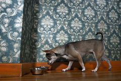 Chihuahua sniffing dog bowl Stock Photos