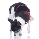Chihuahua sniffing on the floor Royalty Free Stock Image