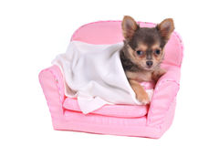 Chihuahua in a sofa Stock Photos